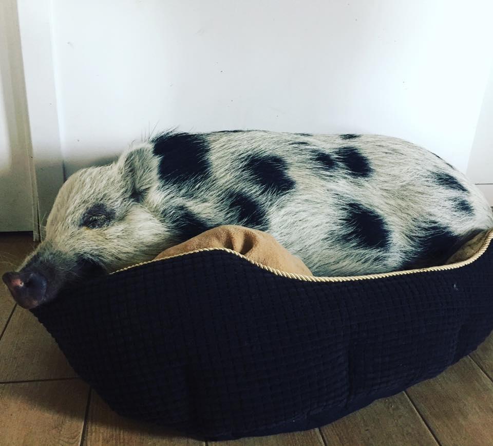 MONNEZZA: la maialina che crede di essere… un cane!